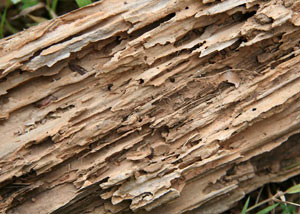 Termite-damaged wood showing rotting galleries outside of a Watertown home